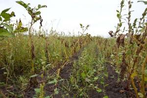 通りすがりなら一面の雑草だが、目を凝らせば黄色いイモの苗が見えてくる。自然に枯れた頃が収穫期だ。
