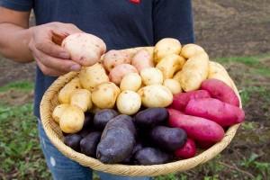 減農薬の畑に植える品種はシャドークイーン、インカのめざめ、ホッカイコガネ、花標津。健さんが手に取るのはサヤアカネ。