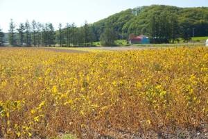 10月下旬、金色に熟したさやは大豆「ユキホマレ」。30%減肥料減農薬で緑肥や循環型堆肥を使った畑で栽培。