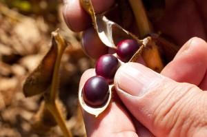 赤い豆は「大正金時」。上浦幌地区は豆の作付けが特に多く、岡田さんも大豆、黒大豆、小豆、金時、高級品の白手亡(しろてぼ)を生産する。