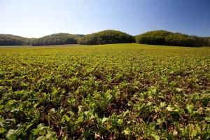 丘を埋めるビート畑は、約30haの広さ。小麦がらと引き換えに地元牧場から牛糞をもらって堆肥を作り、小麦や豆類と輪作する。