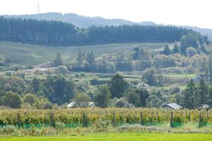 4.6haの園内にあるブドウ畑は南向きの緩斜面。面積あたりの樹の本数は、やや少なめの1アールあたり300本だ。