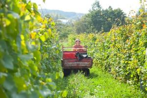 摘んだブドウのケースは、畝幅に合った小さな車で集めていく。畝の間に茂る草は手や機械で刈って、熟成後に土に返すという。