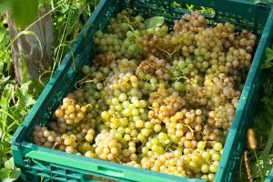 金色に完熟した実と青みのある実が混じっているが、「これでいい」と中澤さん。あえて色々な味が混じり合い、ワインに奥行きを与えてくれる。