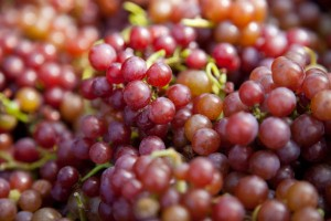 収穫期の違う品種が同じ日に熟しているのも、2010シーズンの暑さのせいだ。